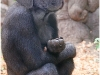 young gorilla monkey