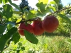 epler-i-hagen